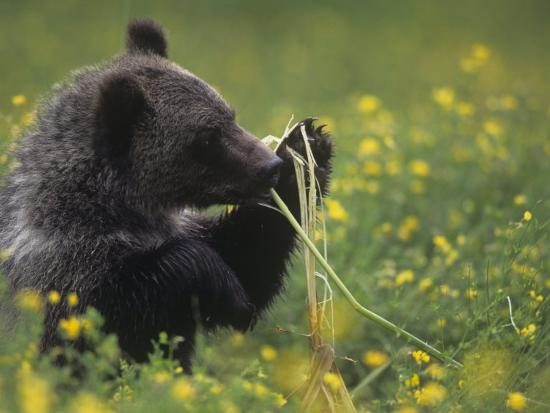 Grizzly or Brown Bear Eating Cattails, Ursus Arctos, North America-Joe McDonald-Photographic Print