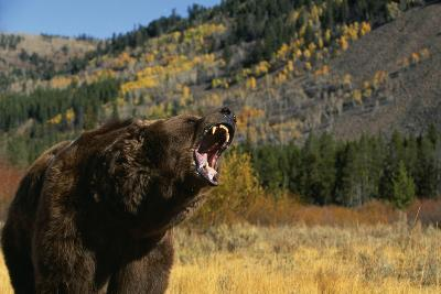 Grizzly Roaring in Field-DLILLC-Photographic Print