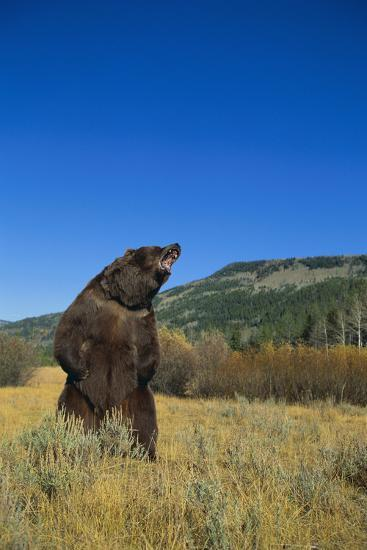 Grizzly Roaring in Mountain Meadow-DLILLC-Photographic Print