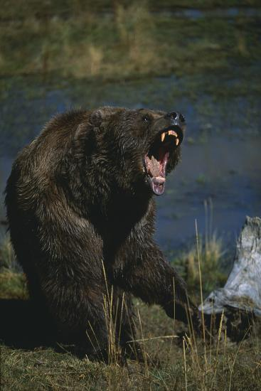 Grizzly Roaring-DLILLC-Photographic Print