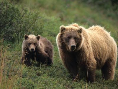 Grizzly Sow and Cub, Alaska-Michael S^ Quinton-Photographic Print
