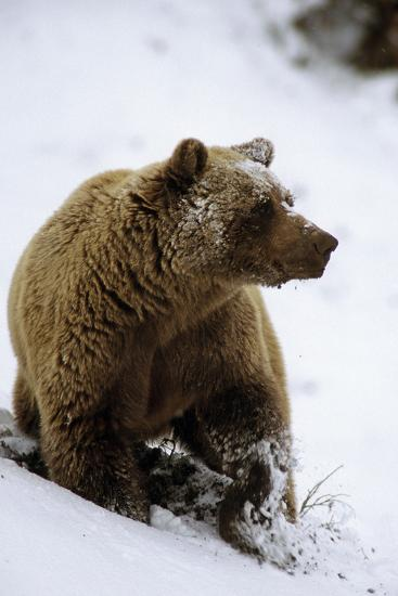 Grizzly Standing in Snow Denali Np in Alaska Autumn-Design Pics Inc-Photographic Print