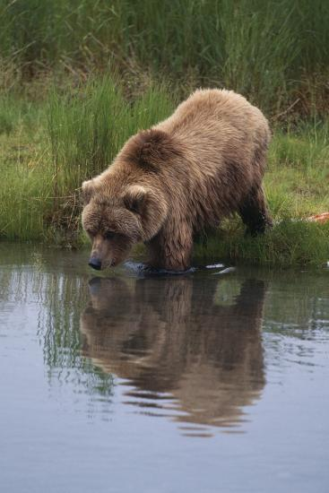 Grizzly Wading in Stream-DLILLC-Photographic Print