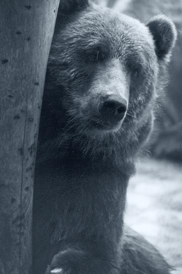 Grizzly-Gordon Semmens-Photographic Print