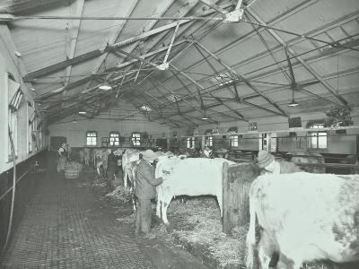 Grooming Cattle in a Cowshed, Claybury Hospital, Woodford Bridge, London, 1937--Photographic Print