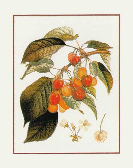Gros Biganeau Rouge--Art Print