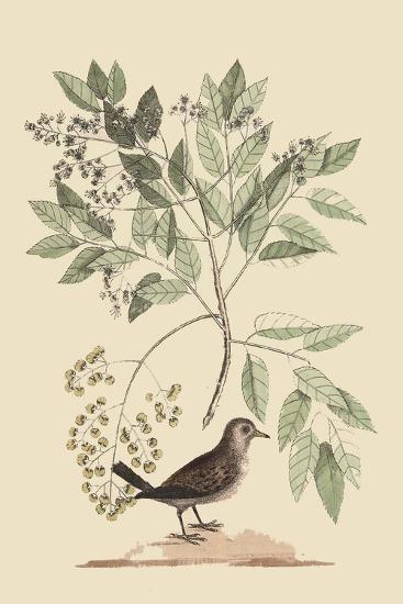 Ground Dove-Mark Catesby-Art Print