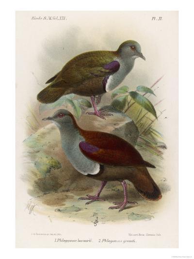 Ground Doves--Giclee Print