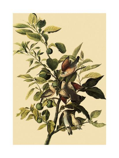 Ground Doves-John James Audubon-Giclee Print