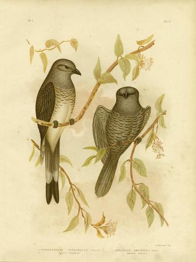 Ground Graucalus or Ground Cuckoo Shrike, 1891-Gracius Broinowski-Giclee Print