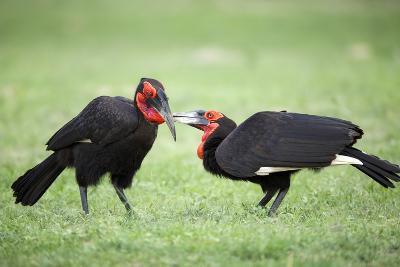Ground Hornbills Allogrooming-Richard Du Toit-Photographic Print