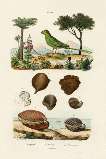 Ground Parrot, 1833-39--Giclee Print