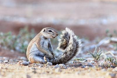 Ground Squirrel (Xerus Inauris) Sitting On Tail, Kgalagadi Transfrontier Park, Northern Cape-Ann & Steve Toon-Photographic Print