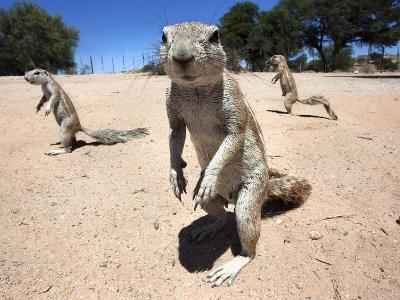 Ground Squirrels (Xerus Inauris), Kgalagadi Transfrontier Park, Northern Cape, South Africa, Africa--Photographic Print