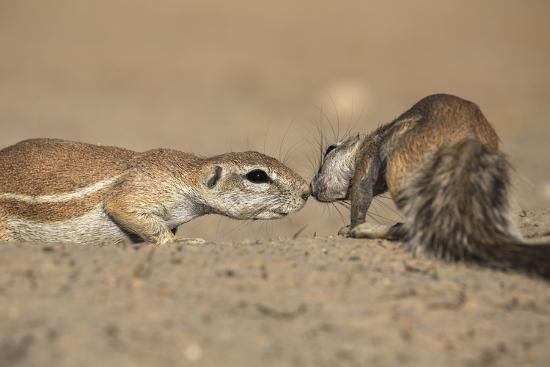 Ground Squirrels (Xerus Inauris), Kgalagadi Transfrontier Park, Northern Cape, South Africa, Africa-Ann & Steve Toon-Photographic Print