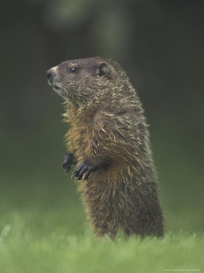 Groundhog Woodchuck, Great Smoky Mountains National Park, Tennessee, USA-Adam Jones-Photographic Print