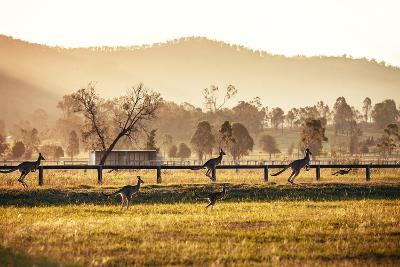 Group of Australian Kangaroos at Hunter Valley, Australia-Andrey Bayda-Photographic Print