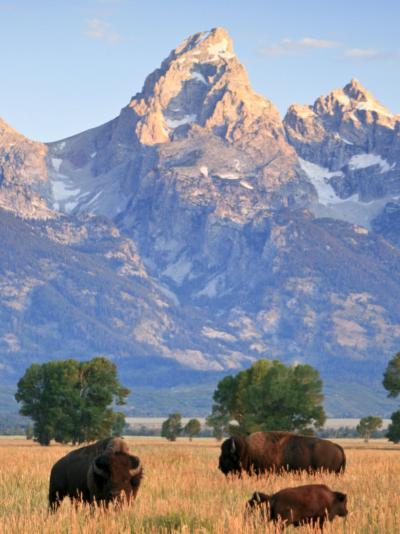 Group of Bison Pass Beneath the Grand Teton in Wyoming-Drew Rush-Photographic Print