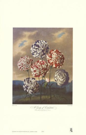 Group of Carnations-Dr^ Robert J^ Thornton-Art Print