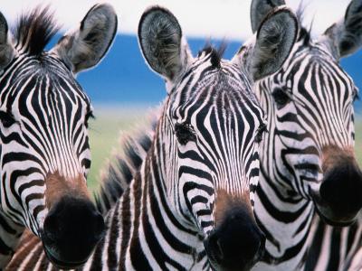 Group of Common Zebras-Tom Cockrem-Photographic Print