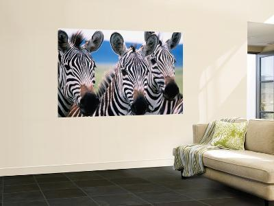 Group of Common Zebras-Tom Cockrem-Wall Mural
