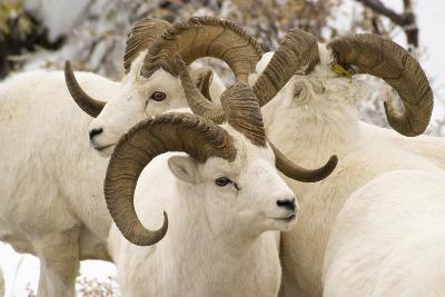 Group of Dall Sheep Denali National Park Interior Alaska Fall-Design Pics Inc-Photographic Print
