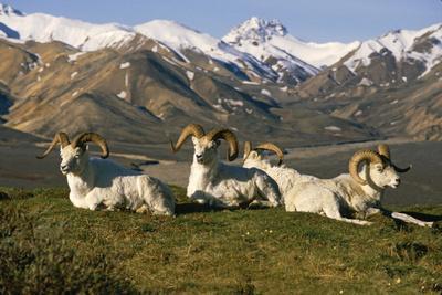 Group of Dall Sheep Rams on Ridge Polychrome Pass in Ak Summer Denali Np-Design Pics Inc-Photographic Print