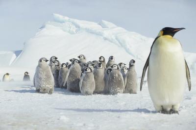 Group of Emperor Penguin Chicks-DLILLC-Photographic Print