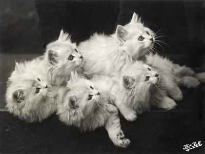 Group of Five Adorable White Fluffy Chinchilla Kittens Lying in a Heap Looking up at Their Owner-Thomas Fall-Photographic Print