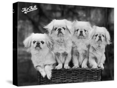 """Group of Four """"White"""" Pekingese Puppies in a Basket Owned by Stewart--Stretched Canvas Print"""