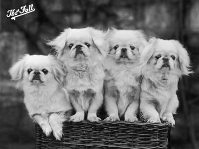 """Group of Four """"White"""" Pekingese Puppies in a Basket Owned by Stewart"""