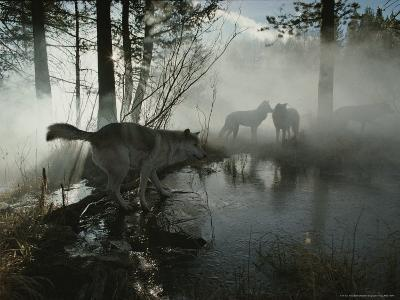 Group of Gray Wolves, Canis Lupus, Pass By a Foggy Pond in a Forest-Jim And Jamie Dutcher-Photographic Print