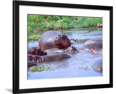 Group of Hippos in a Small Water Hole, Tanzania-David Northcott-Framed Photographic Print