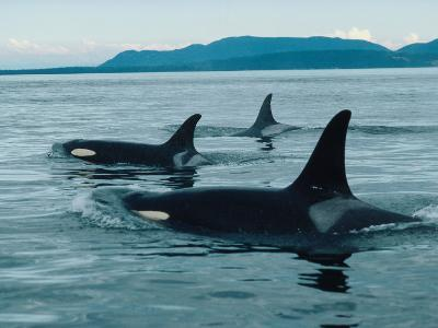 Group of Killer Whales Swim on Surface of Ocean with Mountains in the Background-Jeff Foott-Photographic Print
