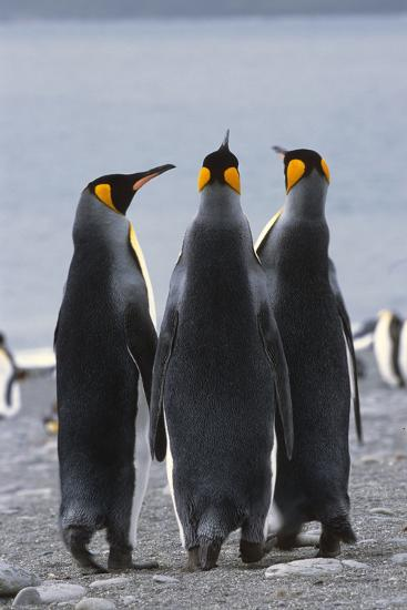 Group of King Penguins Standing Together South Georgia Island Antarctic-Design Pics Inc-Photographic Print