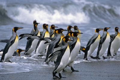 Group of King Penguins Walking in Surf on Beach South Georgia Island Antarctic Summer-Design Pics Inc-Photographic Print