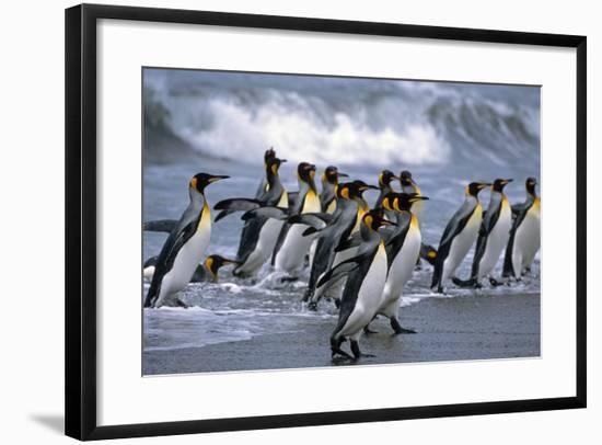 Group of King Penguins Walking in Surf on Beach South Georgia Island Antarctic Summer-Design Pics Inc-Framed Photographic Print