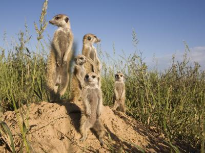 Group of Meerkats, Kalahari Meerkat Project, Van Zylsrus, Northern Cape, South Africa-Toon Ann & Steve-Photographic Print