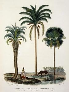 Group of Palm, Cocos Yatai, Cocos Australis