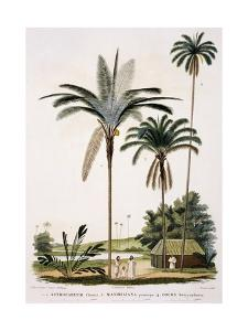 Group of Palm Trees, Astrocaryum Chonta, Maximiliana Princeps and Cocos Botryophora