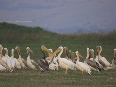 Group of Pelicans Resting on the Ground at Dusk, Galilee Panhandle, Middle East-Eitan Simanor-Photographic Print