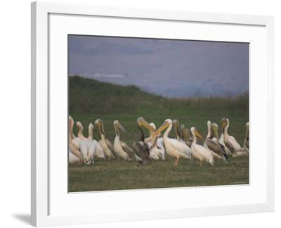 Group of Pelicans Resting on the Ground at Dusk, Galilee Panhandle, Middle East-Eitan Simanor-Framed Photographic Print