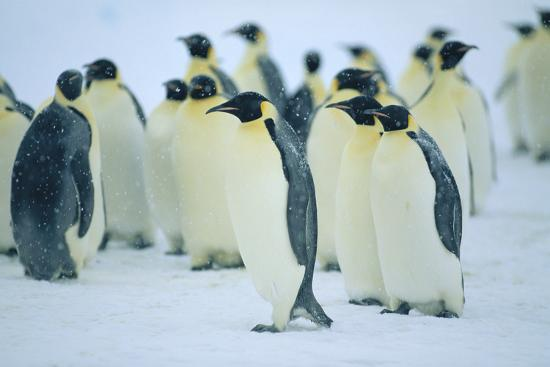 Group of Penguins-DLILLC-Photographic Print