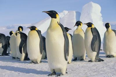 https://imgc.artprintimages.com/img/print/group-of-penguins_u-l-pzsadr0.jpg?p=0