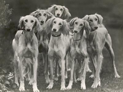 Group of Salukis Registered in Miss Doxford's First Litter by Sarona Kelb Ex Tazi of Ruritania Born-Thomas Fall-Photographic Print