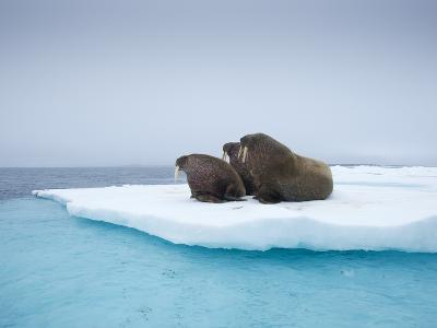 Group of Walrus on ice-Paul Souders-Photographic Print