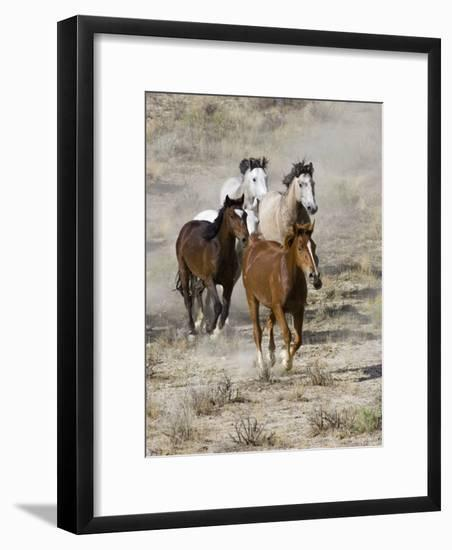 Group of Wild Horses, Cantering Across Sagebrush-Steppe, Adobe Town, Wyoming, USA-Carol Walker-Framed Photographic Print