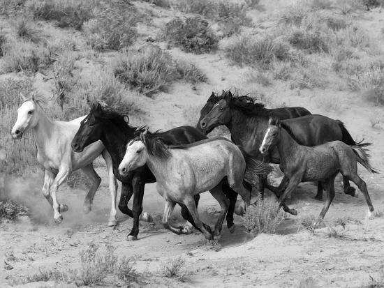Group of Wild Horses, Cantering Across Sagebrush-Steppe, Adobe Town, Wyoming-Carol Walker-Photographic Print