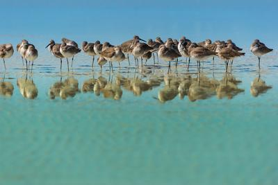 Group of Willets Reflection on the Beach Florida's Wildlife-Kris Wiktor-Photographic Print