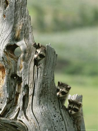 https://imgc.artprintimages.com/img/print/group-of-young-racoons-peer-out-from-behind-a-tree-stump_u-l-p5w7a00.jpg?p=0